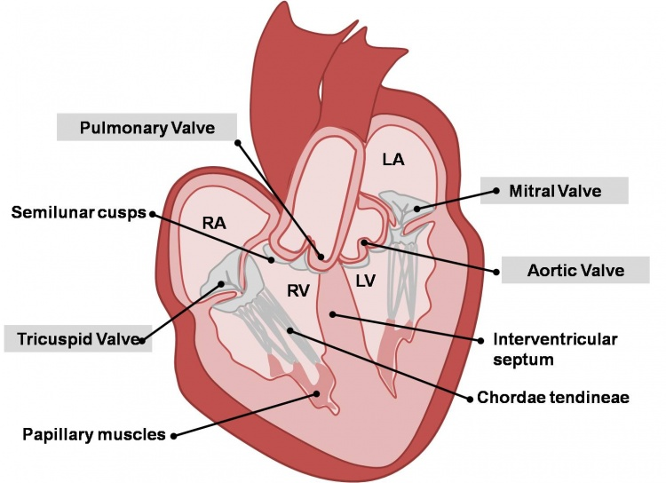 Tricuspid valve definition location function and structure picture of tricuspid valve ccuart Gallery