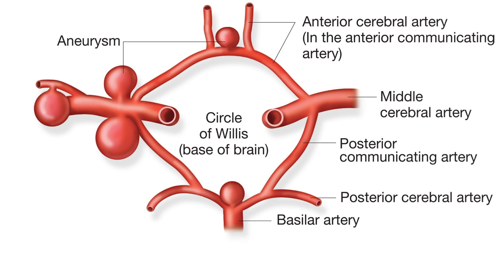 Circle Of Willis Location Anatomy Function And Faqs