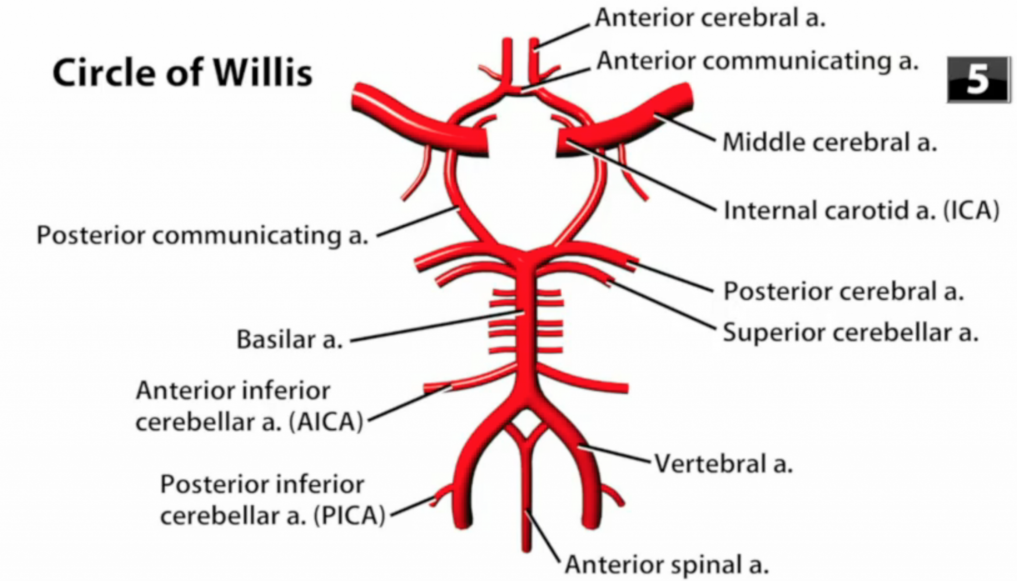 Circle of Willis - Location, Anatomy, Function and FAQs