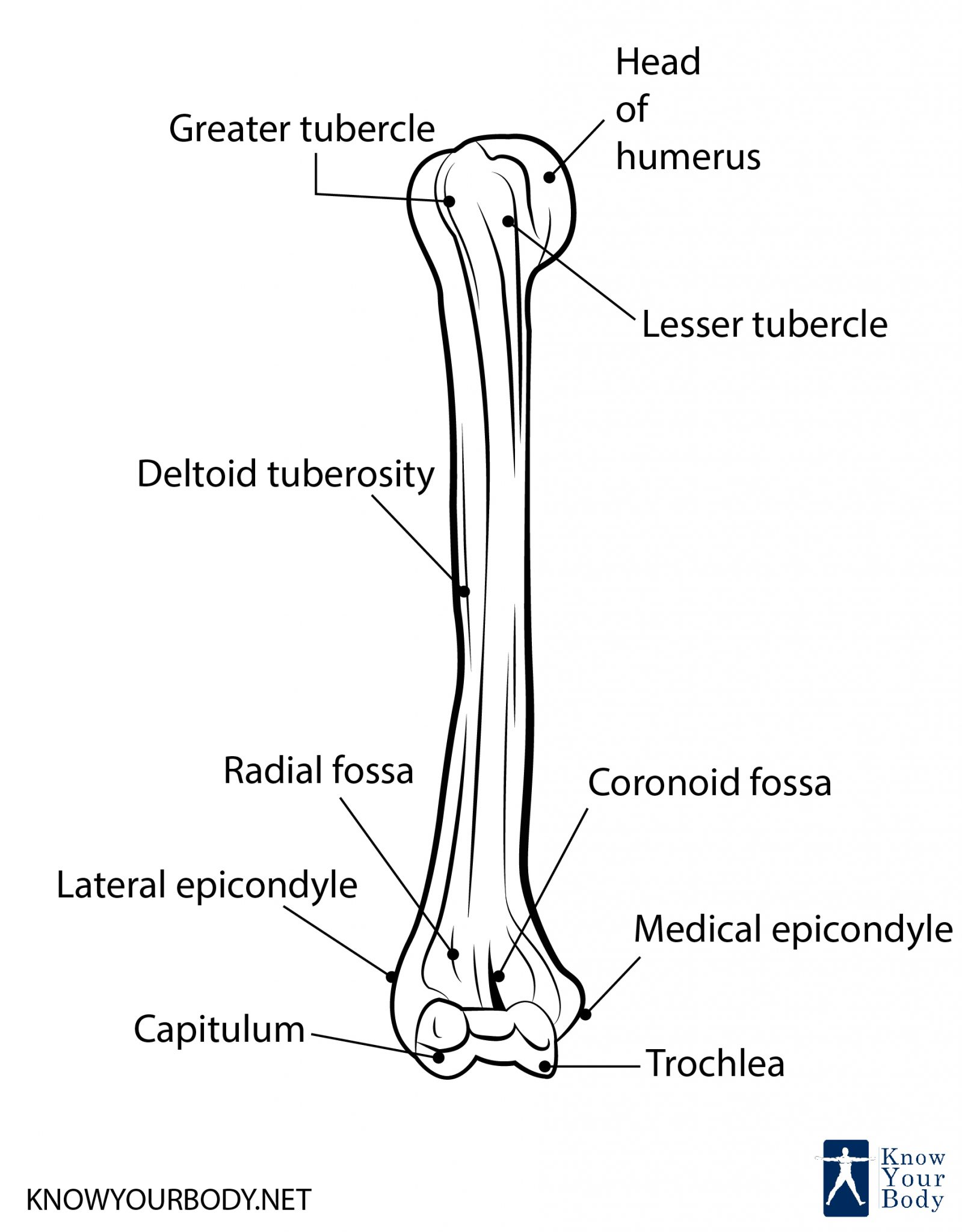 Humerus Bone Anatomy Location Function And Faqs