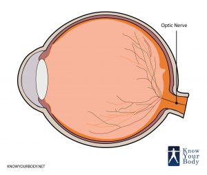 Optic Nerve Location