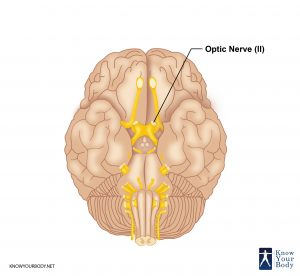 Picture of Optic Nerve