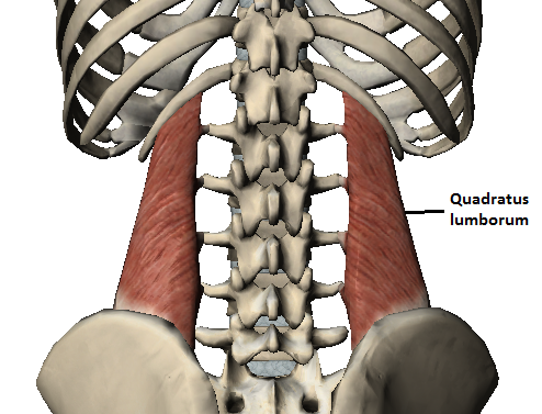 Image result for quadratus lumborum image
