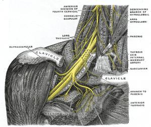 Brachial Plexus Image