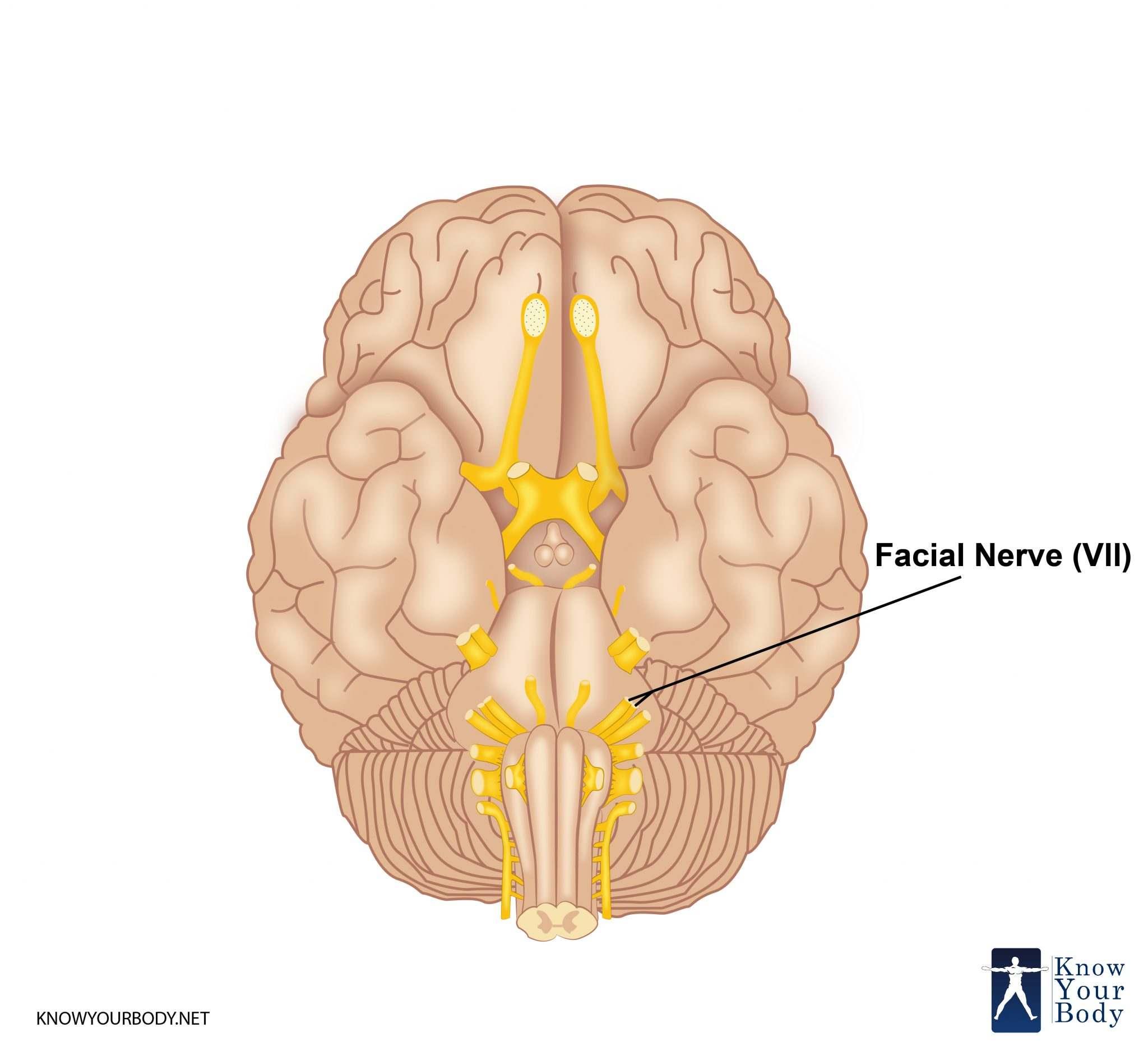 Facial Nerve Cn 7 Branches Innervation Function And Faqs