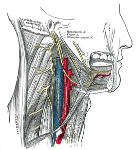 Image of Hypoglossal Nerve