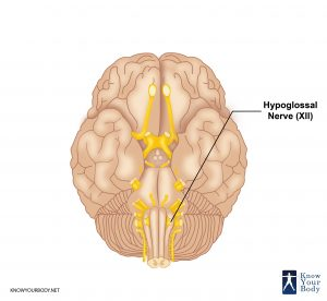 Picture of Hypoglossal Nerve