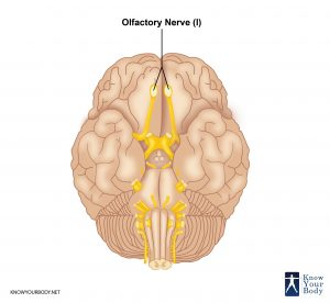 Picture of Olfactory Nerve