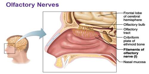 Olfactory Nerve - Function, Location, Related Conditions and FAQs