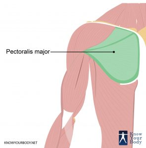 Pectoralis Major Location