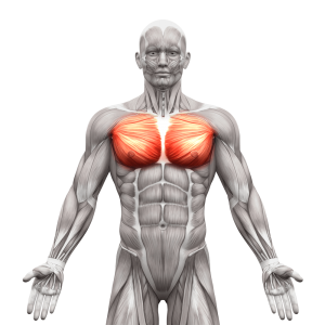 Picture of Pectoralis Major