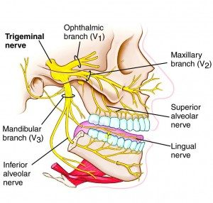 Image of Trigeminal Nerve Branches