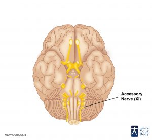 Picture of Accessory Nerve
