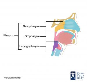 Pharynx Location