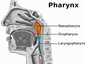 Picture of Pharynx