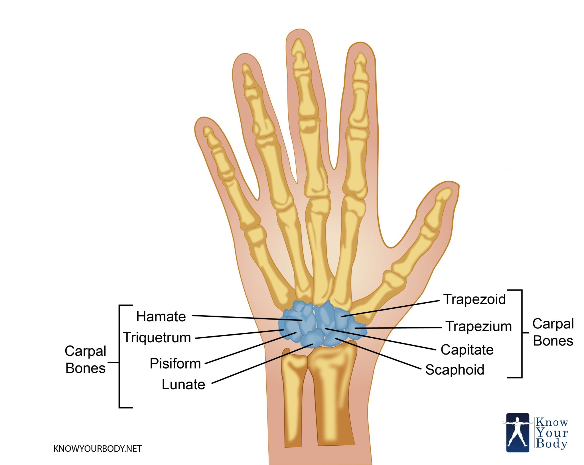 Carpal Bones Wrist Bones Anatomy Structure And Faqs