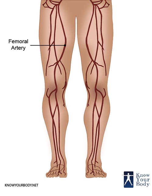Femoral Artery Location Anatomy Branches Function And Faqs