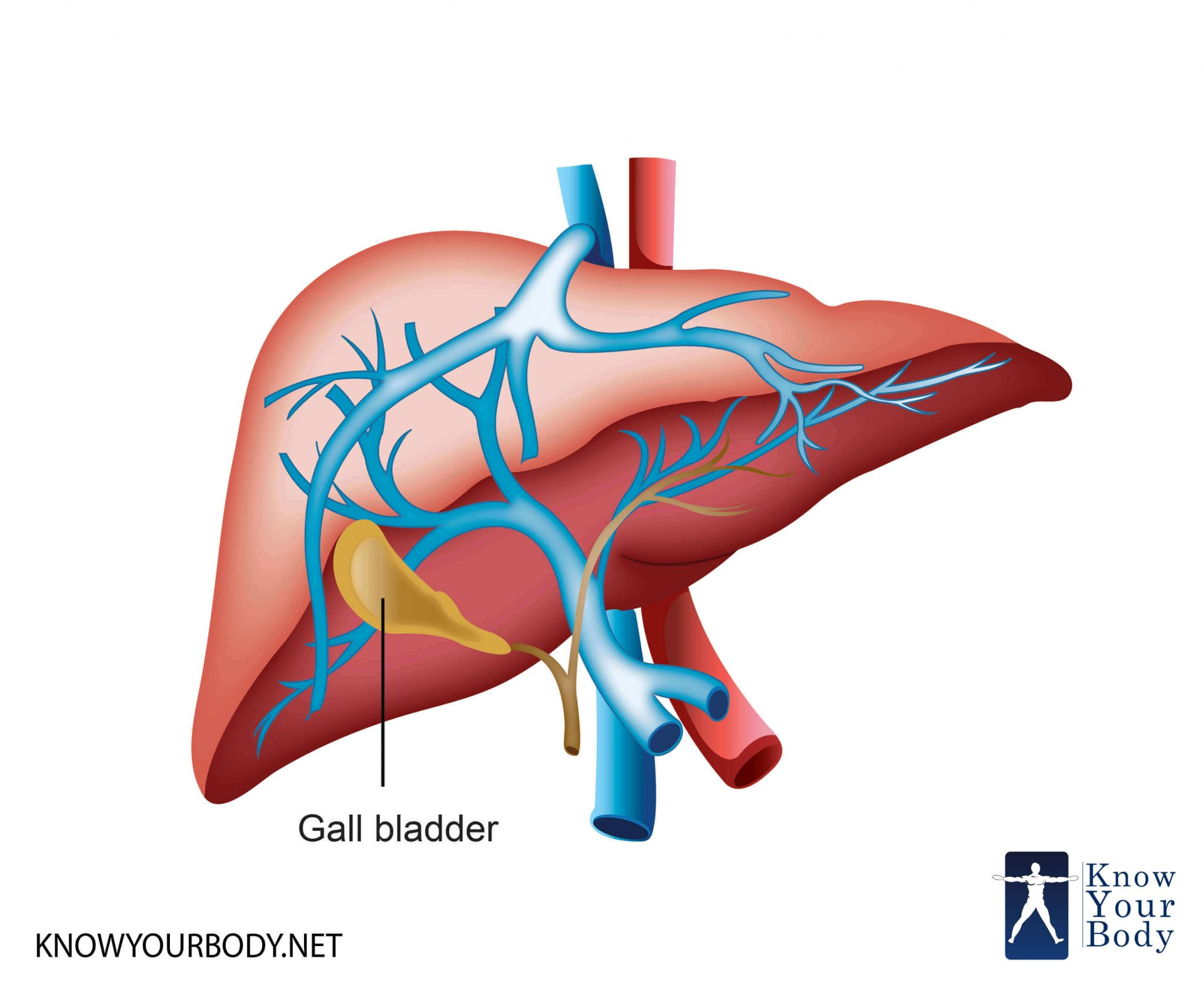 Gallbladder - Location, Function, Anatomy, Pictures and FAQs