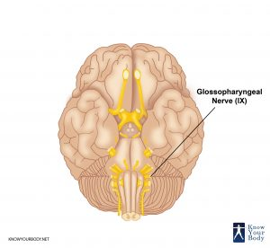 Glossopharyngeal Nerve Location