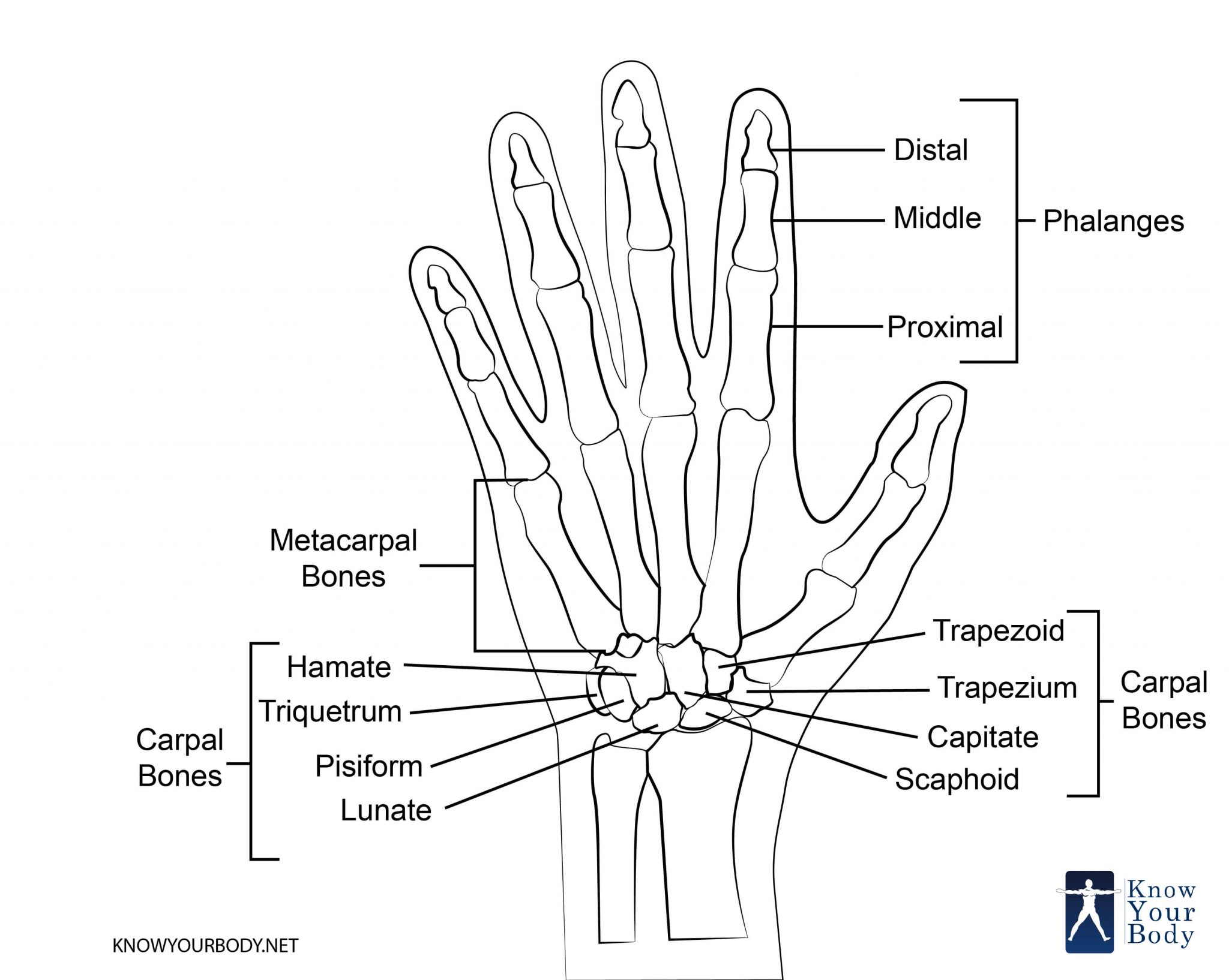 Hand Bones Anatomy Structure And Diagram