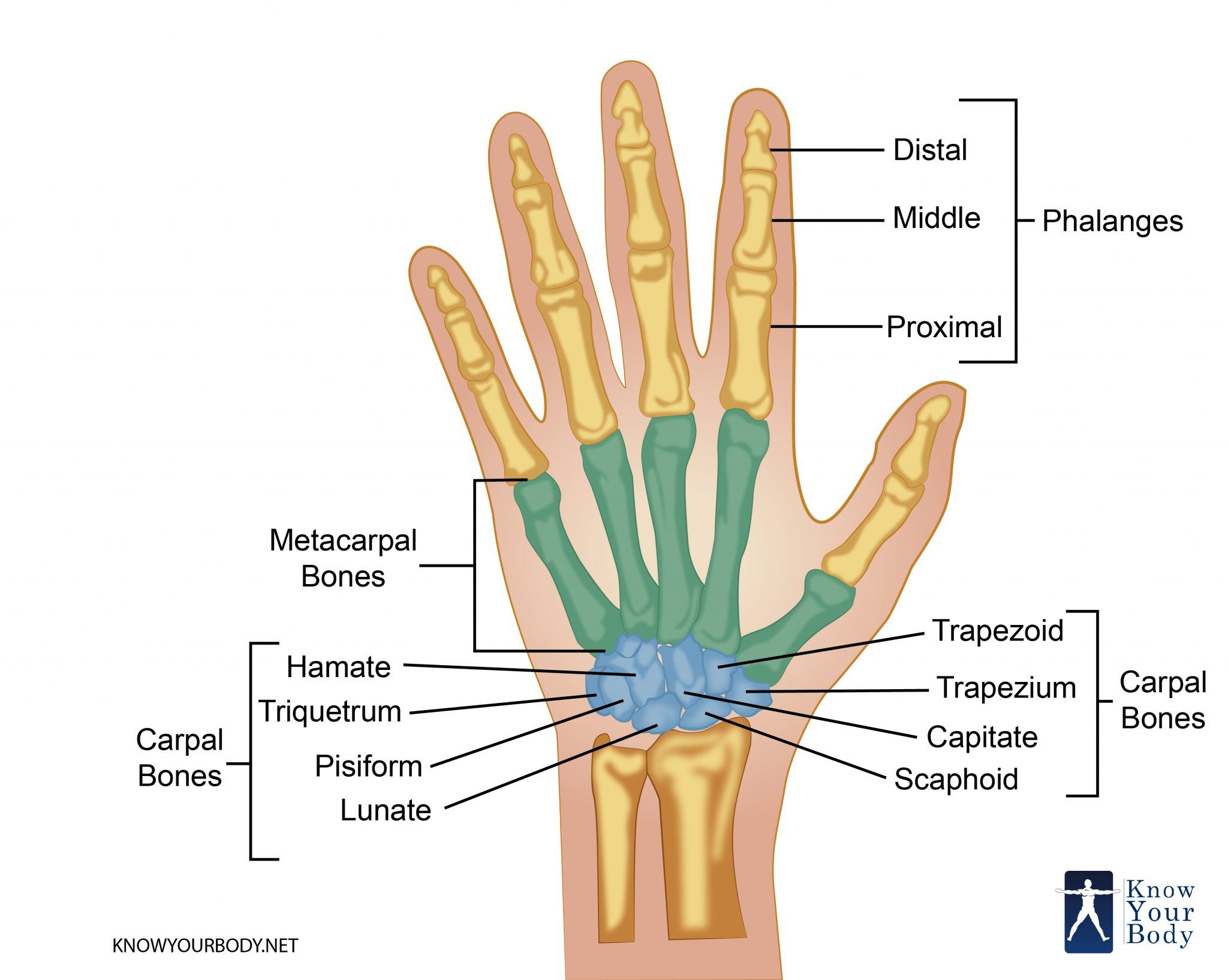 hand bones anatomy structure and diagram rh knowyourbody net hand bones diagram hand bones diagram blank