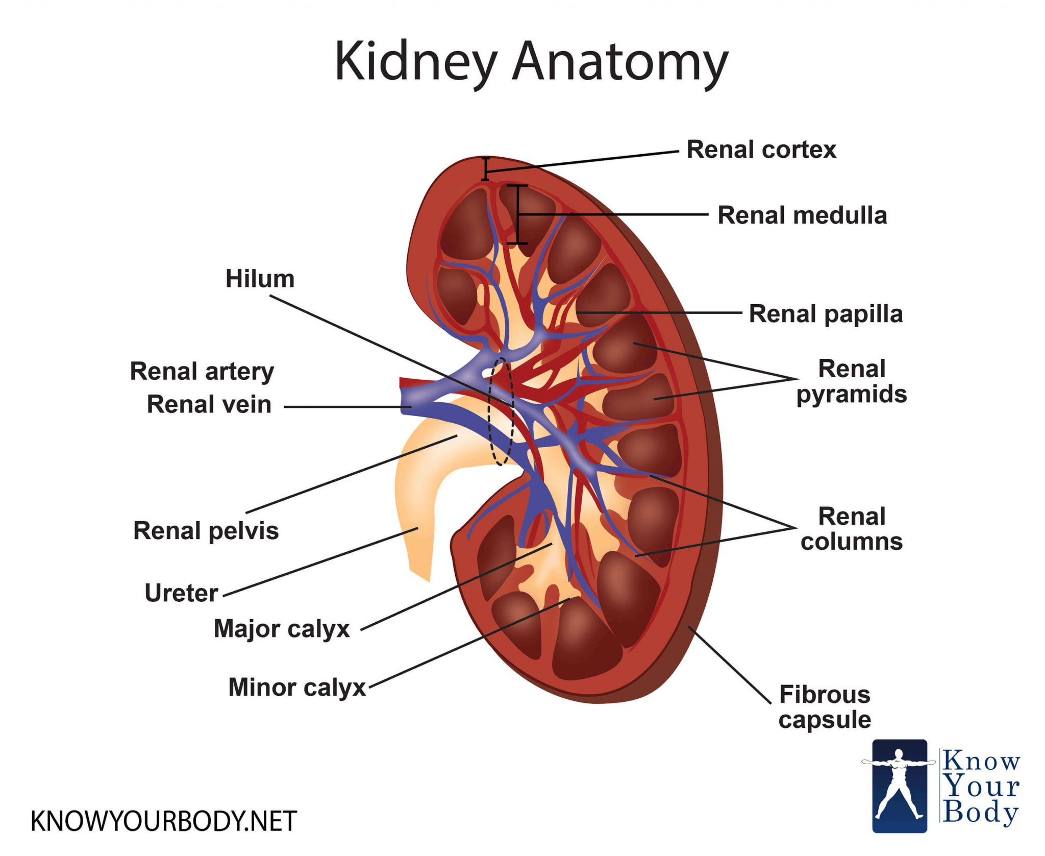 Diagram Of Kidney Organs 1ikverdiengeldmet