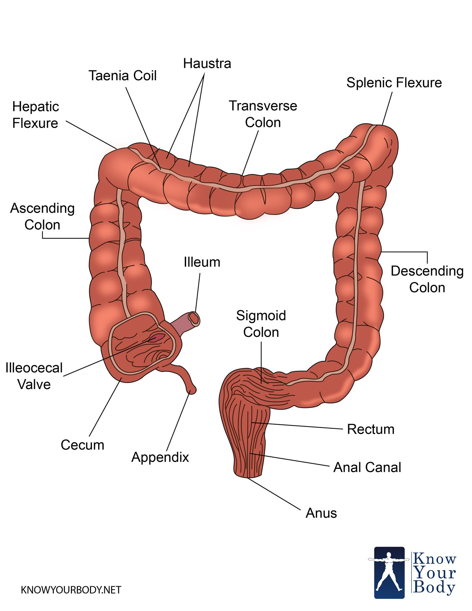 Large Intestine - Function, Parts, Length, Anatomy and FAQs