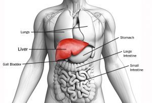 Image of Liver