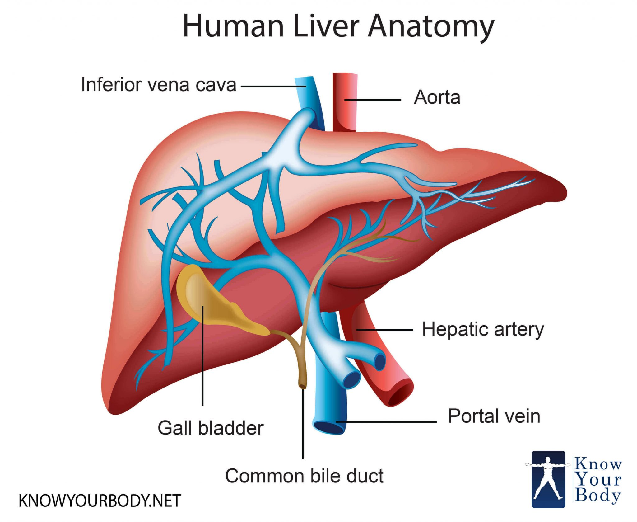 Liver Location Functions Anatomy Pictures And Faqs