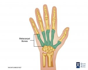 Location of Metacarpal Bones