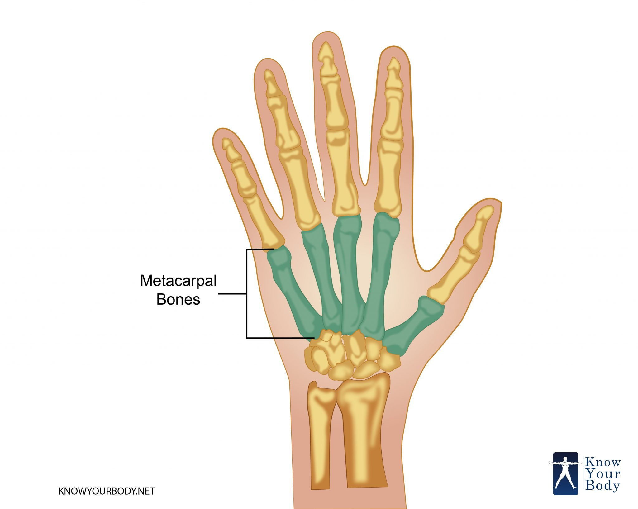 Metacarpal bone: structure, function, injury 38