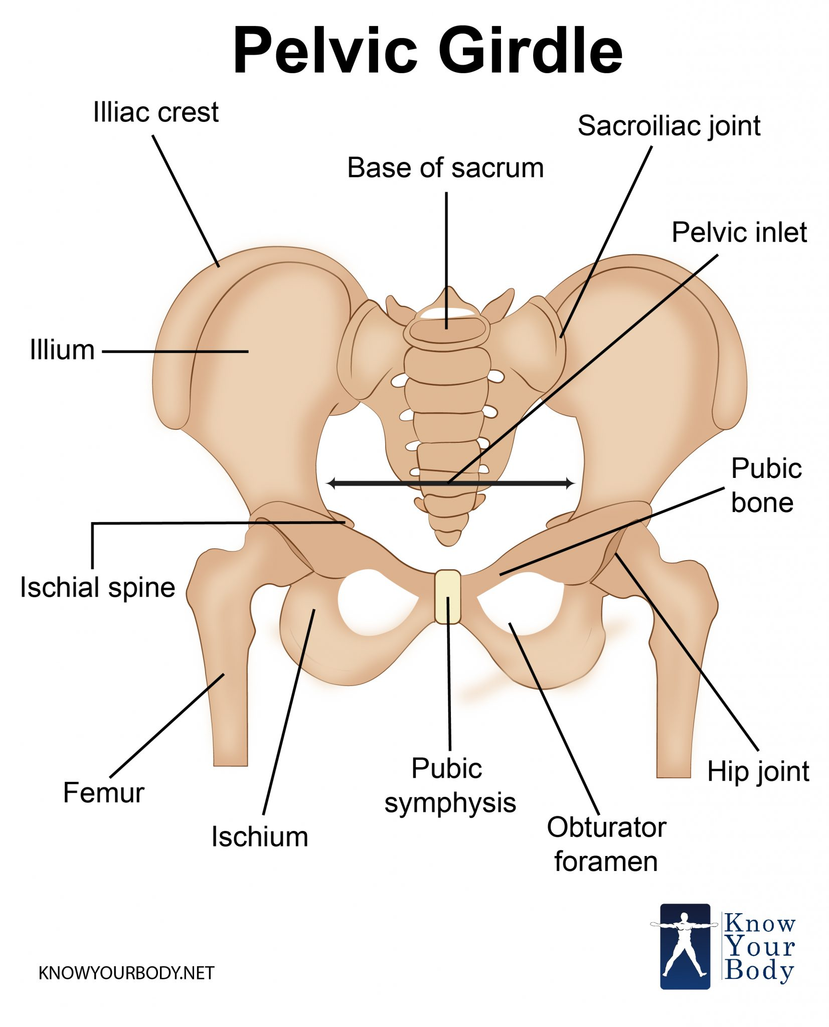 Pelvic Girdle Bones Function Anatomy And Faqs