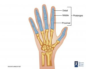 Location of Phalanges