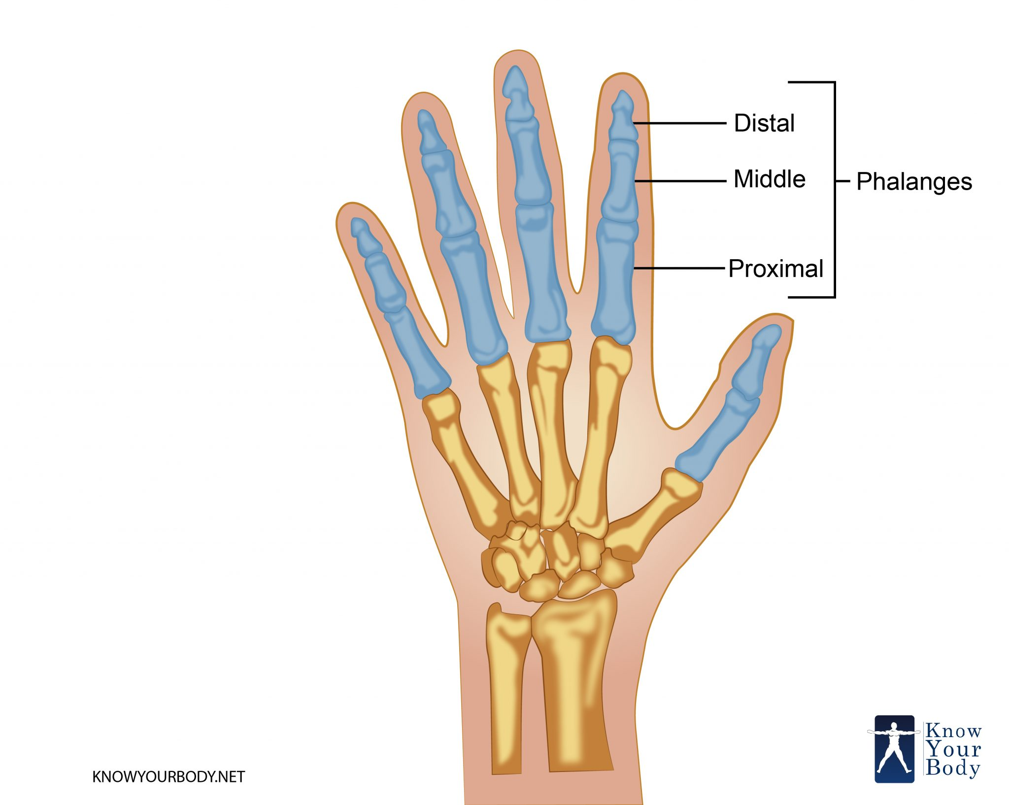 Phalanges - Definition, Function, Anatomy, Origin and FAQs