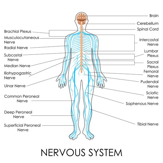 Sciatic Nerve Location Anatomy Function And Faqs