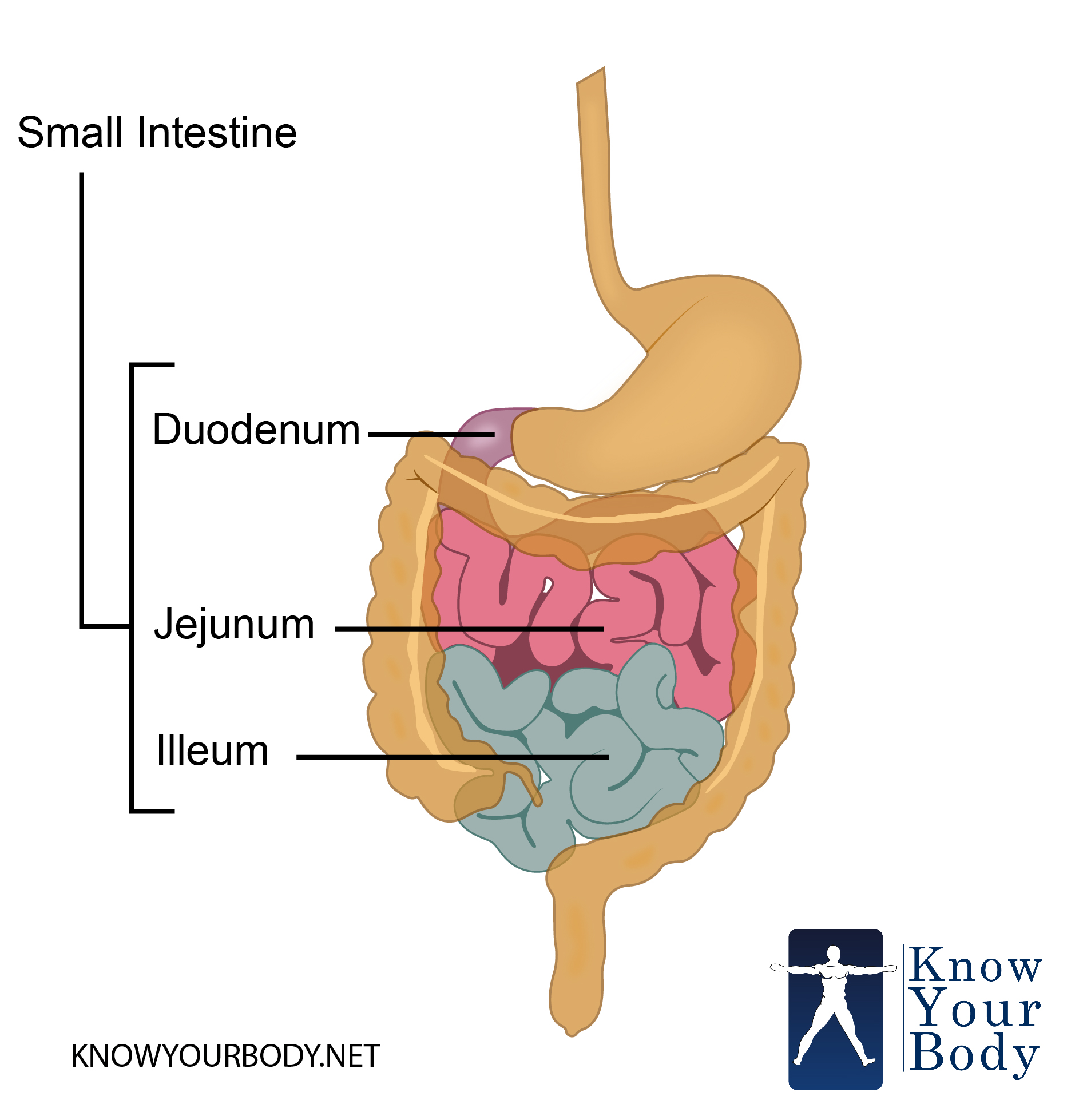 simple diagram of the large intestine