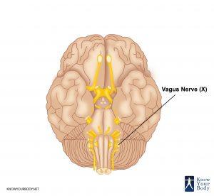 Vagus Nerve Location