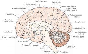 Image of Corpus Callosum