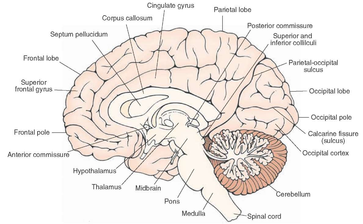 Corpus Callosum - Function, Definition, Location and FAQs