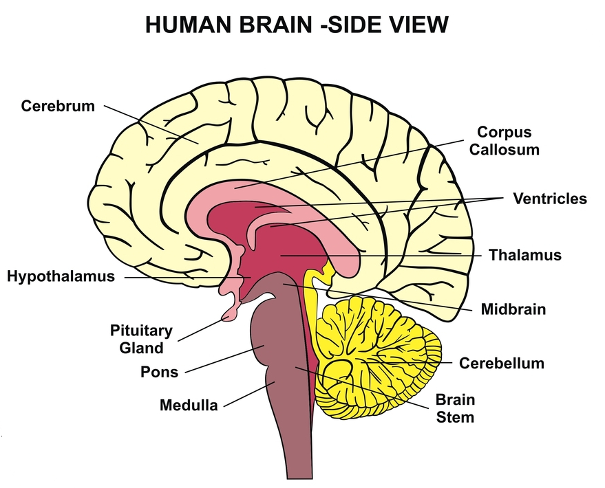 Corpus Callosum Function Definition Location And Faqs