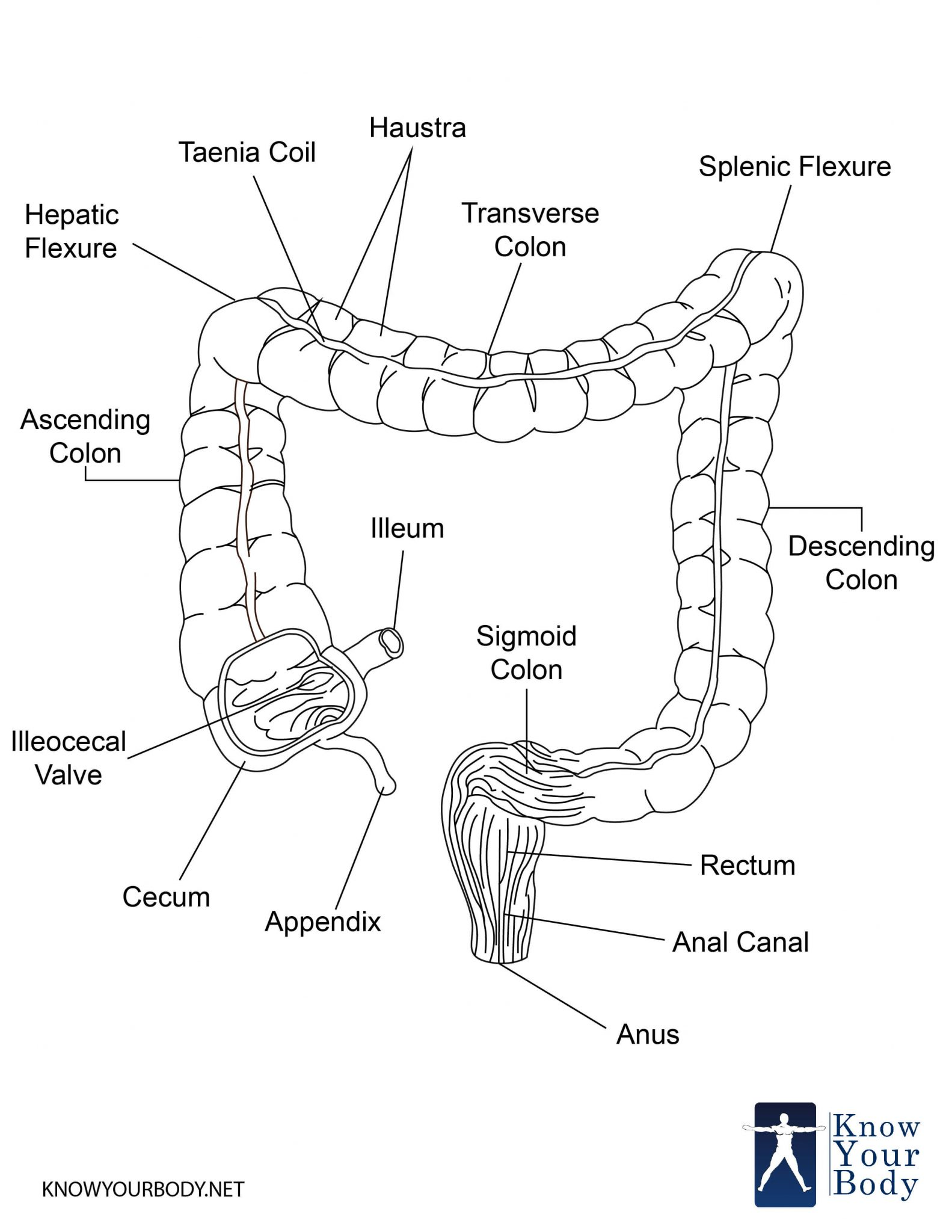 Human Intestine Diagram